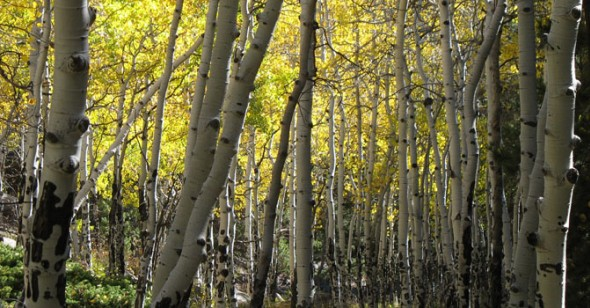 Aspen grove. (Photo by Sylvia Schaefer)