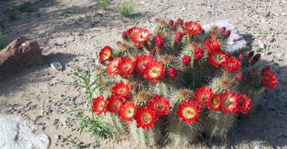 Scarlet Hedgehog Cactus (Echinocereus coccineus) at Sevilleta Field Station, New