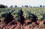 A soybean field