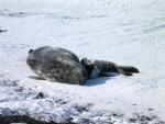 Mother and baby Weddell Seals lay on the frozen ice of McMurdo Sound