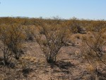 Creosote canopy die-back