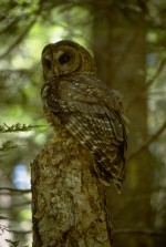 Northern Spotted Owl at the Andrews Forest