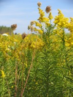 Goldenrod (Solidago canadensis) at the KBS LTER site