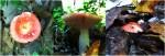 Russula spp