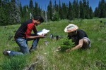 Measuring conifer at Bunchgrass Ridge
