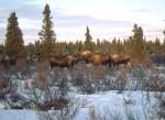Wild Moose grazing in a shrub community in winter