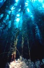 ooking underwater at the kelp forest of the Santa Barbara coast